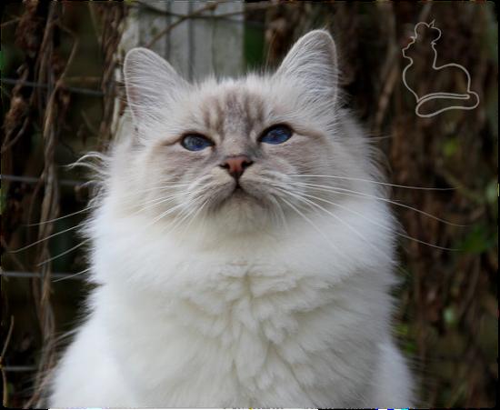 Heilige Birma Katze Liprima's Emiliana, Blue-Tabby-Point
